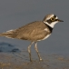kleine-plevier-little-ringed-plover-05