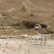 kleine-plevier-little-ringed-plover-06