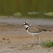 kleine-plevier-little-ringed-plover-07