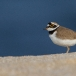 kleine-plevier-little-ringed-plover-10