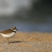 kleine-plevier-little-ringed-plover-11