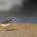 kleine-plevier-little-ringed-plover-11