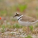 kleine-plevier-little-ringed-plover-12