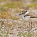 kleine-plevier-little-ringed-plover-13