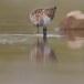 Kleine strandloper - Little Stint 02