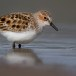 Kleine strandloper - Little Stint 04