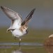 Kleine strandloper - Little Stint 05