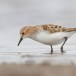 Kleine strandloper - Little Stint 06