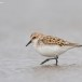 Kleine strandloper - Little Stint 07