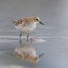 Kleine strandloper - Little Stint 08