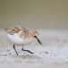 Kleine strandloper - Little Stint 09