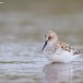 Kleine strandloper - Little Stint 11