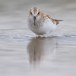 Kleine strandloper - Little Stint 12