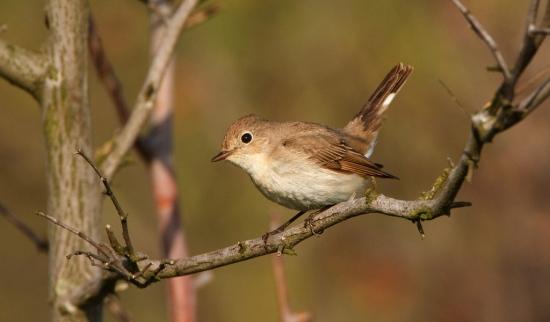kleine-vliegenvanger-red-breasted-flycatcher-05