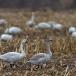 kleine-zwaan-tundra-swan-02-1