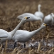 kleine-zwaan-tundra-swan-03-1