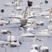 kleine-zwaan-tundra-swan-04