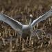 kleine-zwaan-tundra-swan-06-1