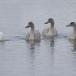 kleine-zwaan-tundra-swan-07