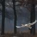kleine-zwaan-tundra-swan-08