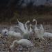 kleine-zwaan-tundra-swan-09
