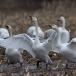 kleine-zwaan-tundra-swan-11-1