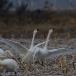 kleine-zwaan-tundra-swan-11