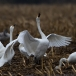 kleine-zwaan-tundra-swan-12-1