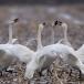 kleine-zwaan-tundra-swan-13