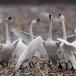 kleine-zwaan-tundra-swan-14