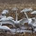kleine-zwaan-tundra-swan-15-1