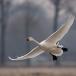 kleine-zwaan-tundra-swan-15
