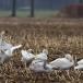 kleine-zwaan-tundra-swan-16-1
