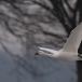 kleine-zwaan-tundra-swan-17