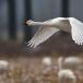 kleine-zwaan-tundra-swan-19