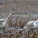kleine-zwaan-tundra-swan-20