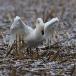 kleine-zwaan-tundra-swan-22