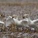 kleine-zwaan-tundra-swan-25