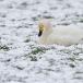 kleine-zwaan-tundra-swan-33