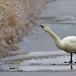 kleine-zwaan-tundra-swan-36