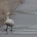 kleine-zwaan-tundra-swan-43