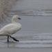kleine-zwaan-tundra-swan-44