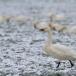 kleine-zwaan-tundra-swan-45