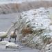kleine-zwaan-tundra-swan-46