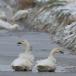 kleine-zwaan-tundra-swan-49