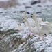 kleine-zwaan-tundra-swan-52