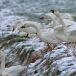 kleine-zwaan-tundra-swan-53