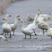 kleine-zwaan-tundra-swan-54