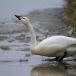 kleine-zwaan-tundra-swan-56