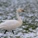kleine-zwaan-tundra-swan-59